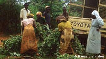 Helferinnen tragen die Heilpflanze Artemisia annua zu einem bereitstehenden LKW (Foto: DW)