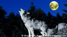 A wolf has tipped back its head. The moon in the background (Imago/Anka Agency International/G. Lacz)