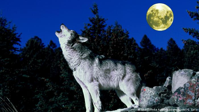 Wolf howling at the night sky (Imago/Anka Agency International/G. Lacz)