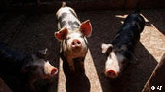 Pigs sniff for food at a farm