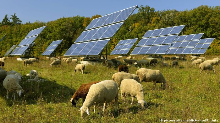 Sheep graze on grass in front of solar panels on a sunny day