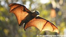 Grey-headed flying fox / Fruit bat (Pteropus poliocephalus) in flight, Royal Botanical Gardens, Sydney, Australia. PUBLICATIONxINxGERxSUIxAUTxONLY 8122886 BarryxBland Grey Headed Flying Fox Fruit Bat Pteropus poliocephalus in Flight Royal Botanical Gardens Sydney Australia PUBLICATIONxINxGERxSUIxAUTxONLY 8122886 BarryxBland