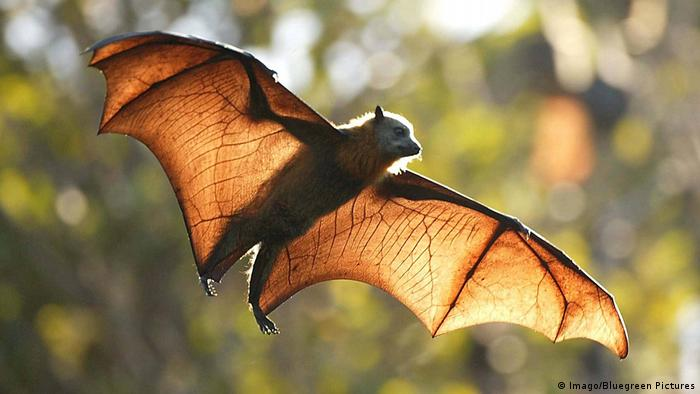 Australian fruit bat mid-flight with wings spread in daylight