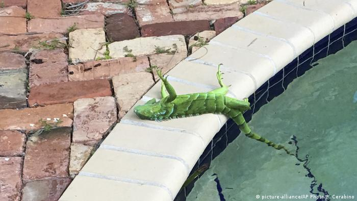 An iguana that froze lies near a pool