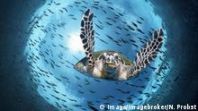 Australien Suppenschildkröte am Great Barrier Reef (Imago/Imagebroker/N. Probst)