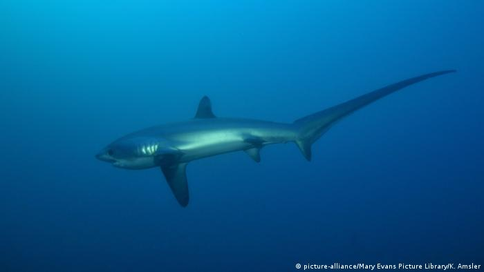 Foxtail Shark