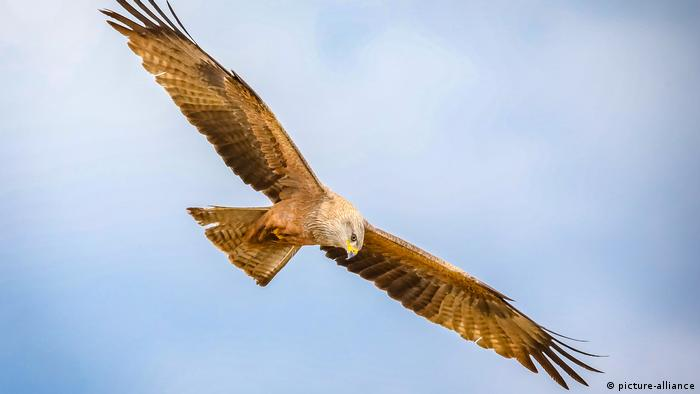 Raubvogel, Black Kite (Milvus migrans) (picture-alliance)