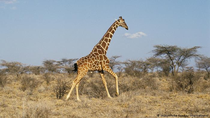 Giraffe running (Imago/Anka Agency International)
