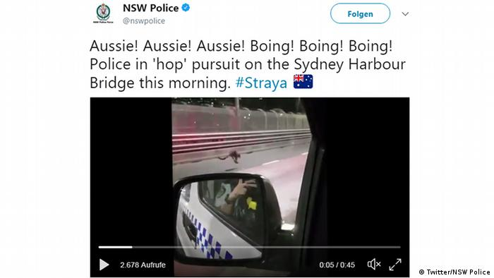 Rogue Australian wallaby sparks downtown police chase in