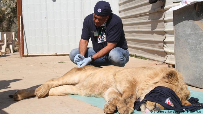 Singa terbius di kebun binatang Irak