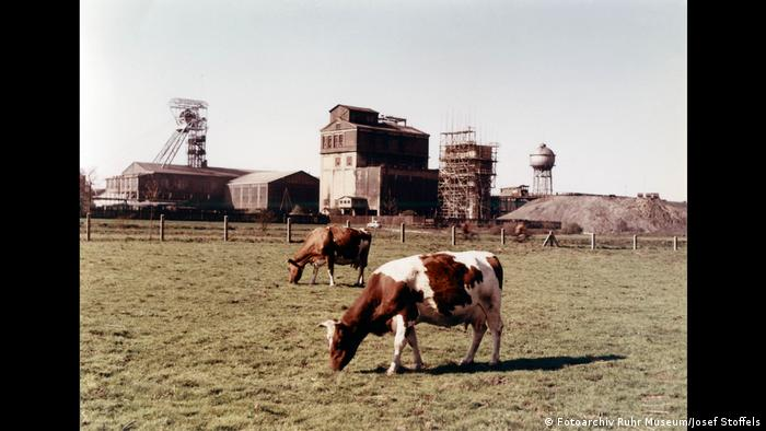 A color photo with grazing cows in front of a mine. (Fotoarchiv Ruhr Museum/Josef Stoffels)