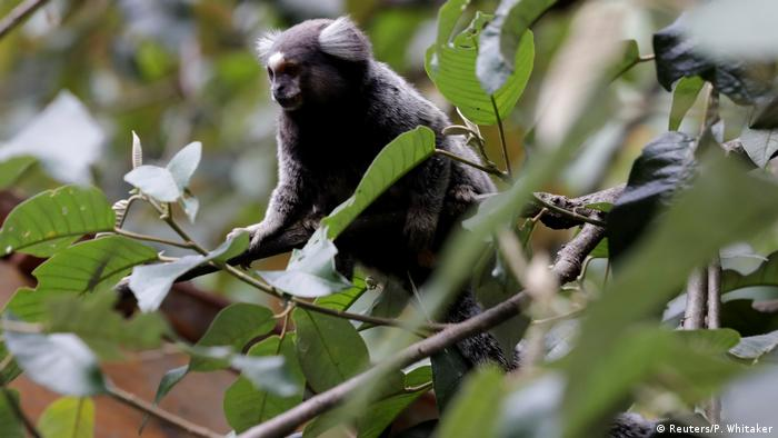 A primate in Brasil (Reuters/P. Whitaker)