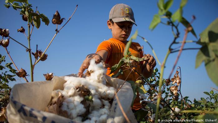 Baumwollernte in Ägypten (picture alliance/NurPhoto/H. Elsherif)