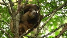 eco@afrika Saving Madagascar's threatened lemurs