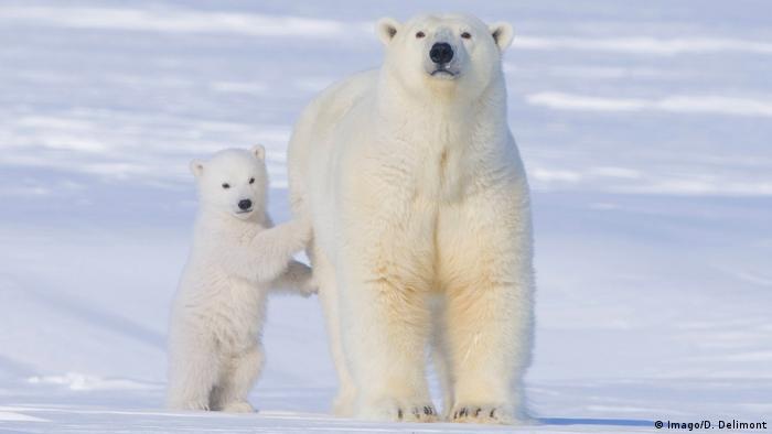 Eisbären (Imago/D. Delimont)