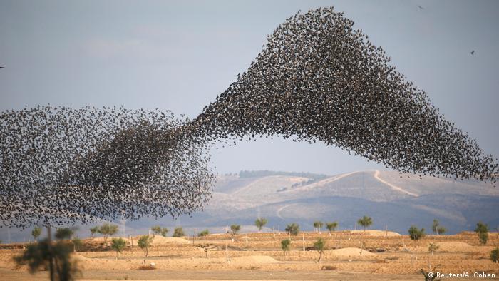 DW eco@africa - Starling murmuration in Israel