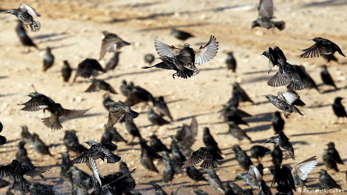 DW eco@africa - Starlings in Israel