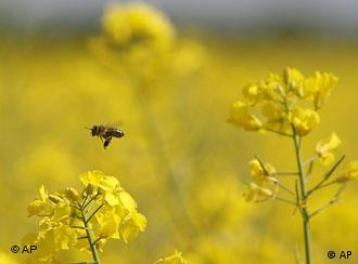 A bee in a rapeseed field (Photo: Frank Augstein/ AP)