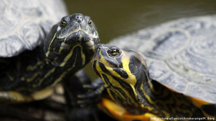 Gelbwangenschmuckschildkröten (picture-alliance/chromorange/M. Berg)