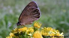 Auch für seltene Schmetterlinge wie den Braunen Waldvogel ist das Grüne Band ein Paradies; 2009, Alle Rechte vom Bund für Umwelt und Naturschutz an die Deutsche Welle abgetreten, Fotograf: Helmut Schlumprecht, Quelle: BUND.