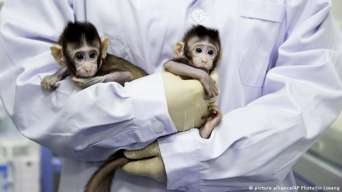 Two Macaque monkeys inthe arms of a reseracher