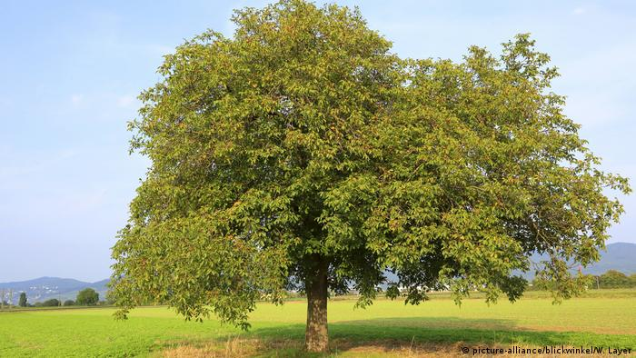 a walnut tree (picture-alliance/blickwinkel/W. Layer)
