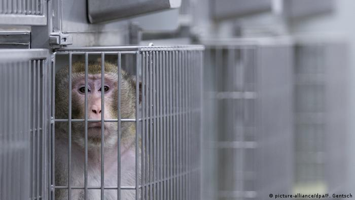 A caged monkey looks in the camera in a Münster laboratory
