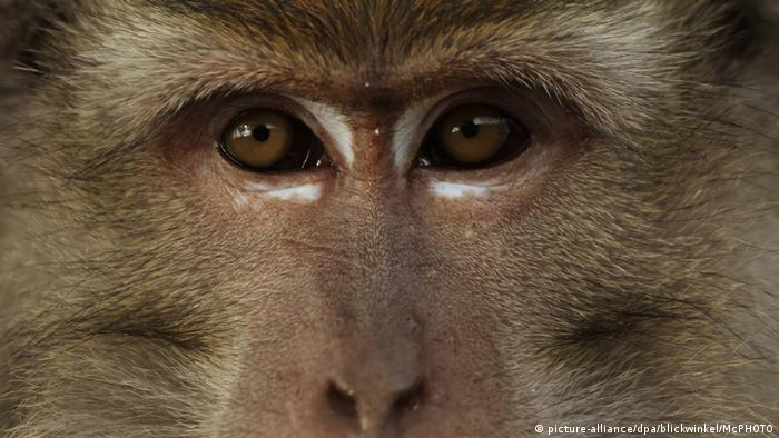 Face of a macaque monkey (picture-alliance/dpa/blickwinkel/McPHOTO)