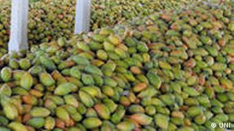High piles of delicious Totapuri mangoes being stocked for export in Vijaywada