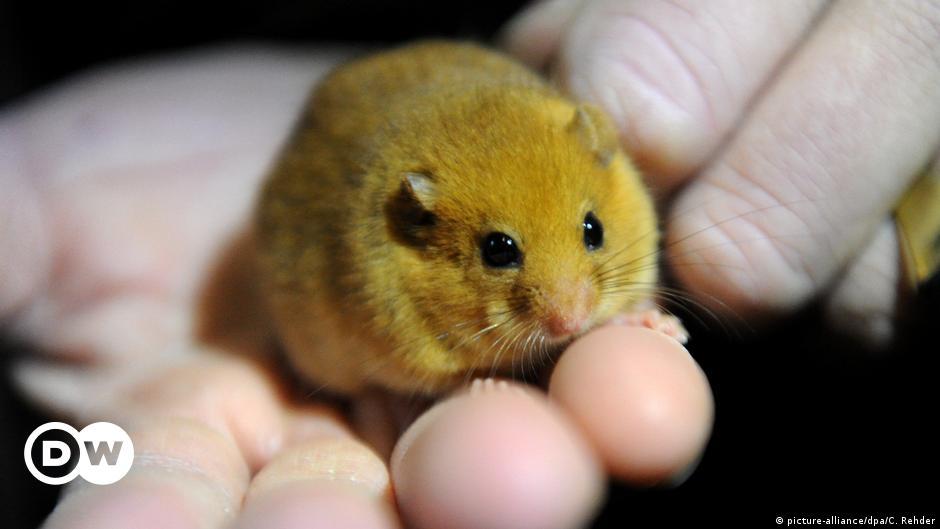 Las Ratas Son Animales Fantásticos En Serio Ciencia Y Ecología Dw 20 09 2018