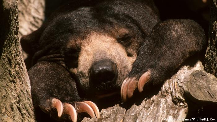 Sun bear resting in a tree (picture-alliance/Wildlife/D.J. Cox)