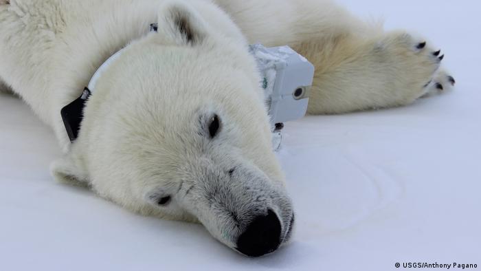 Eisbär mit Sendehalsband in der Arktis