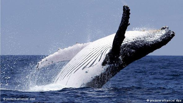 A hump-backed whale off the coast of Puerto Lopez in Ecuador