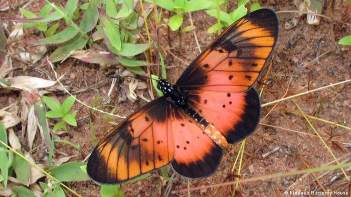 Schmetterlingsfarm (Kipepeo Butterfly House)