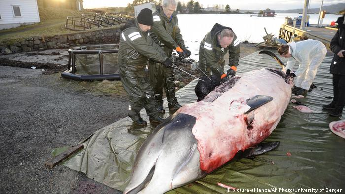 Whale beached with plastic in its stomach