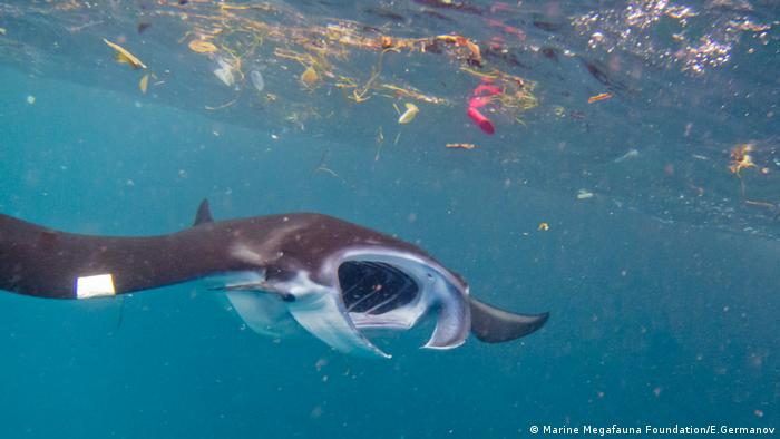 Manta ray surrounded by plastic in Indonesia