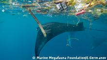 Manta mit Plastik in Indonesien