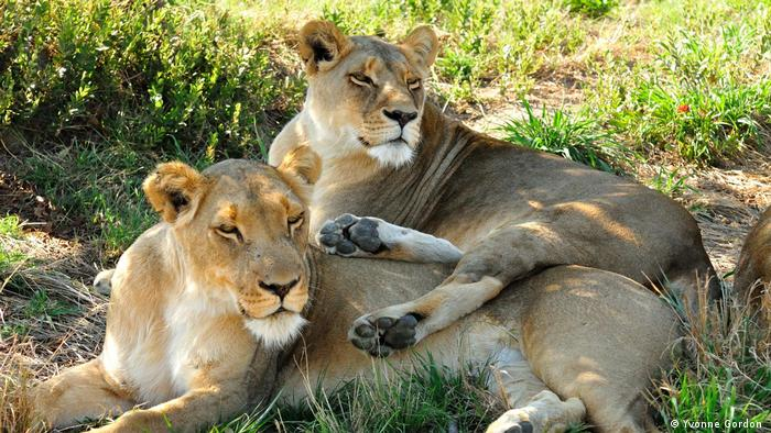 Photo: Two lionesses in Antelope Park, Zimbabwe (Source: Yvonne Gordon)