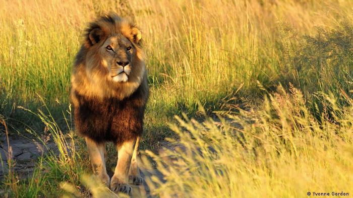 Photo: A lion suns himself in Antelope Park, Zimbabwe (Source: Yvonne Gordon)