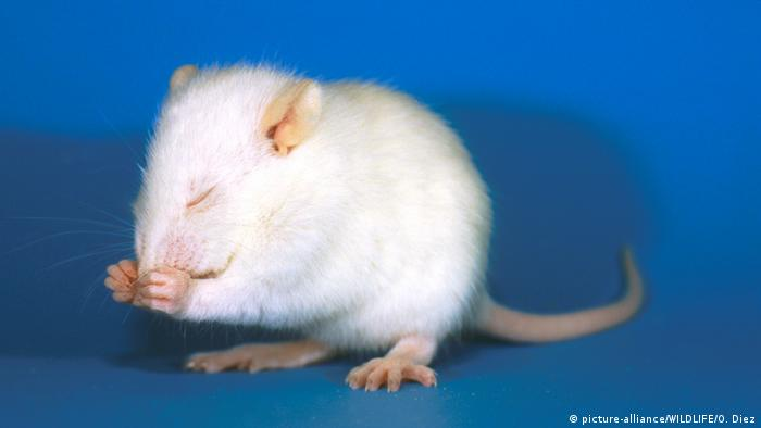 Lab rat cleaning its nose