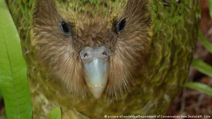 Papageienart - Sirocco der Kakapo (picture-alliance/dpa/Department of Conservation New Zealand/R. Cole)