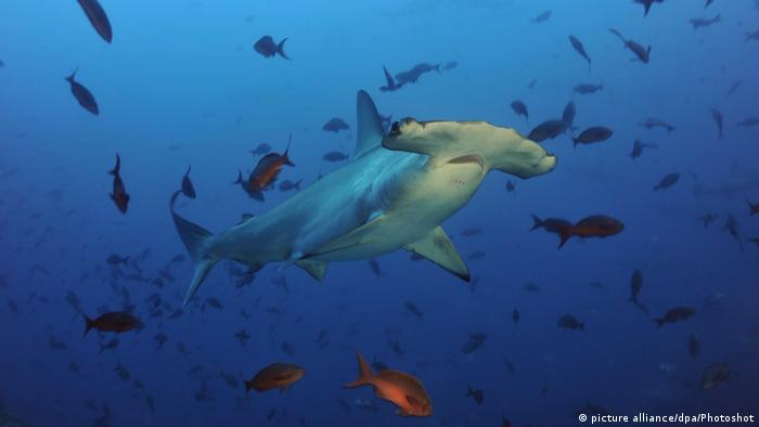 Hammerhai inmitten von Fischen