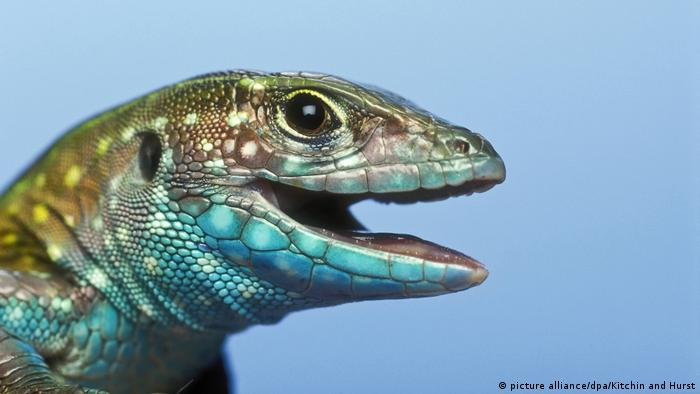 Tiere die sich klonen Whiptail Lizard (picture alliance/dpa/Kitchin and Hurst)