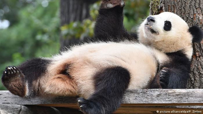 China plans huge national park for pandas
