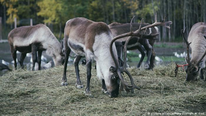 Peary's CARIBOU (picture-alliance/Mary Evans/K. W. Fink)