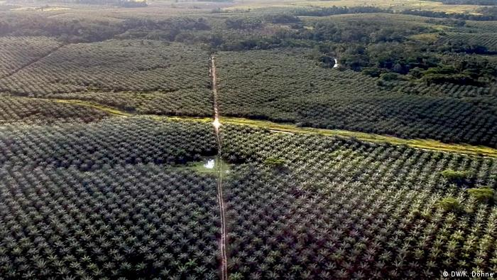 Monoculture plantation of oil palms seen from above