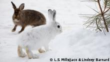 A brown and white snowshoe hare in winter