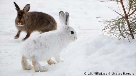 A brown and white snowshoe hare in winter (L.S. Mills/Jaco & Lindsey Barnard)