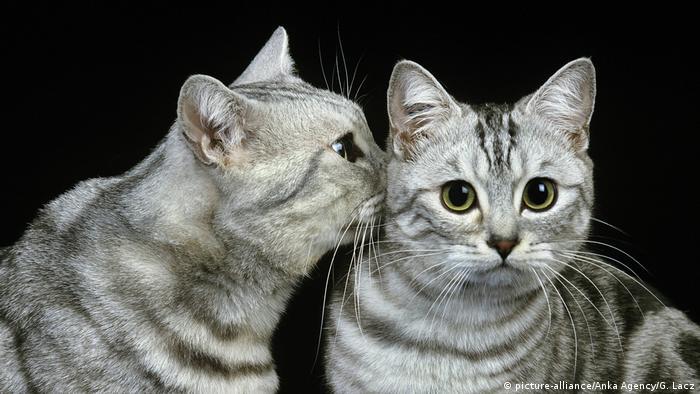 Küssende Katzen