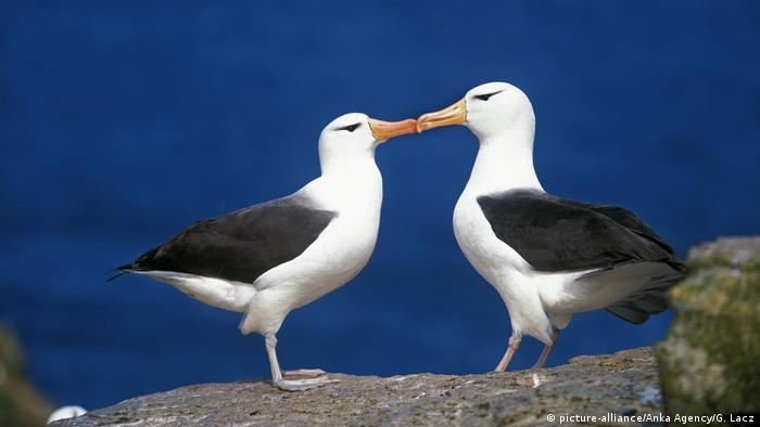 Zwei Albatrosse stehen sich Schnäbel küssend gegenüber. Sie stehen auf einem Felsen, haben beide ein weißes Gefieder an Kopf, Brust, Bauch, oberen Beinen und Hinterteil. Die Rücken- und Flügelpartien sind schwarz. Die Schnäbel weisen eine hell orangene Färbung auf. Auffallend ist die Krümmung der Schnäbel.